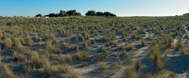 Vegetation on dunes as appeared in 2016