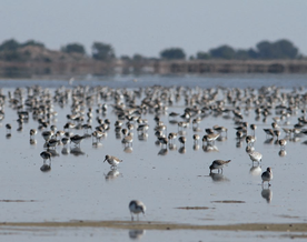 Flock of dunlins (Calidris alpina) and sanderlings (Calidris alba) on sandflats in the former saltworks