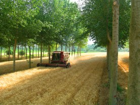 Walnut trees and wheat cultivation