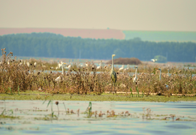 Succession of habitats after the restoration of agriculture polder in Mahmudia